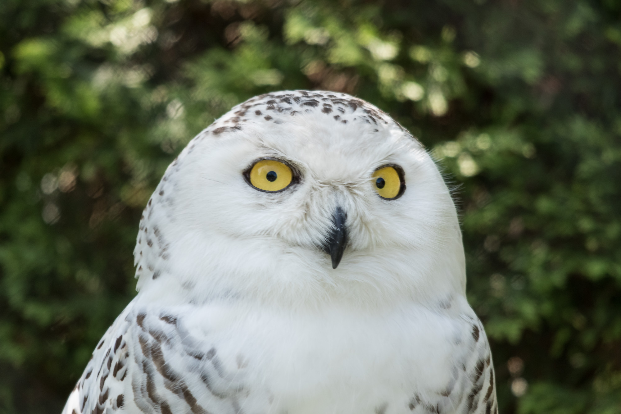 Snowy owl in the summer
