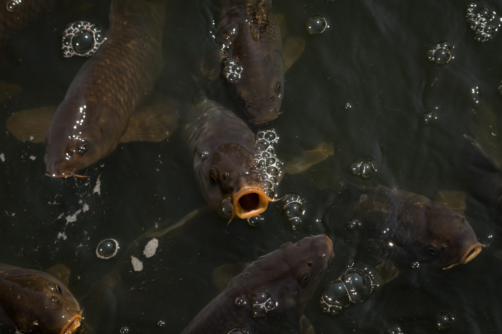The carp are hungry