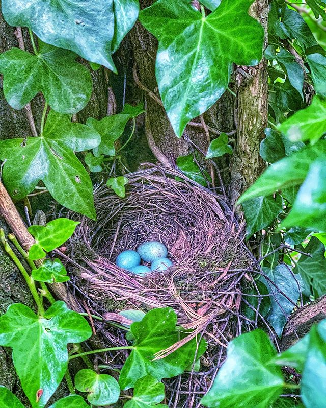 Collecting kindling in the woods and as I stood up a blackbird brushed past my hair and it was then that I spotted the nest, right in front of me. Wonderful days working in nature.  #nature #forestschool #endorsedtrainer #woodlands #Ilovemyjob #everydayismagic