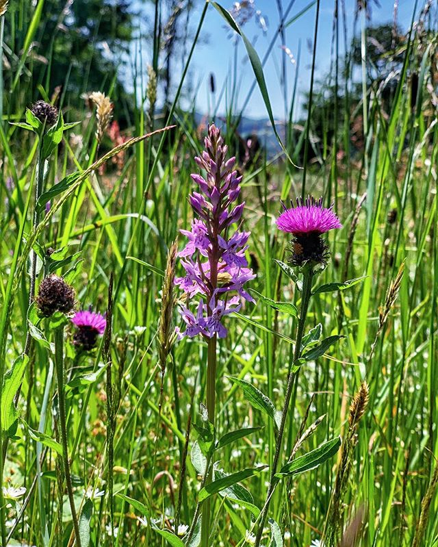 I have orchids in my meadow! And knapweed. I was in my late 20s before I knew that the British isles had native orchids. . On another note, we finished the Old Summer House this week. Have a look at my Stories for more photos . . .  #naturegram  #aseasonalshift #simpleandstill #natureonthepage #daysofsmallthings #quietinthewild #alliseeispretty #lovelywanderings #myeverydaymagic #wildwye #brockweir #commonspottedorchid #meadows #wildflowers