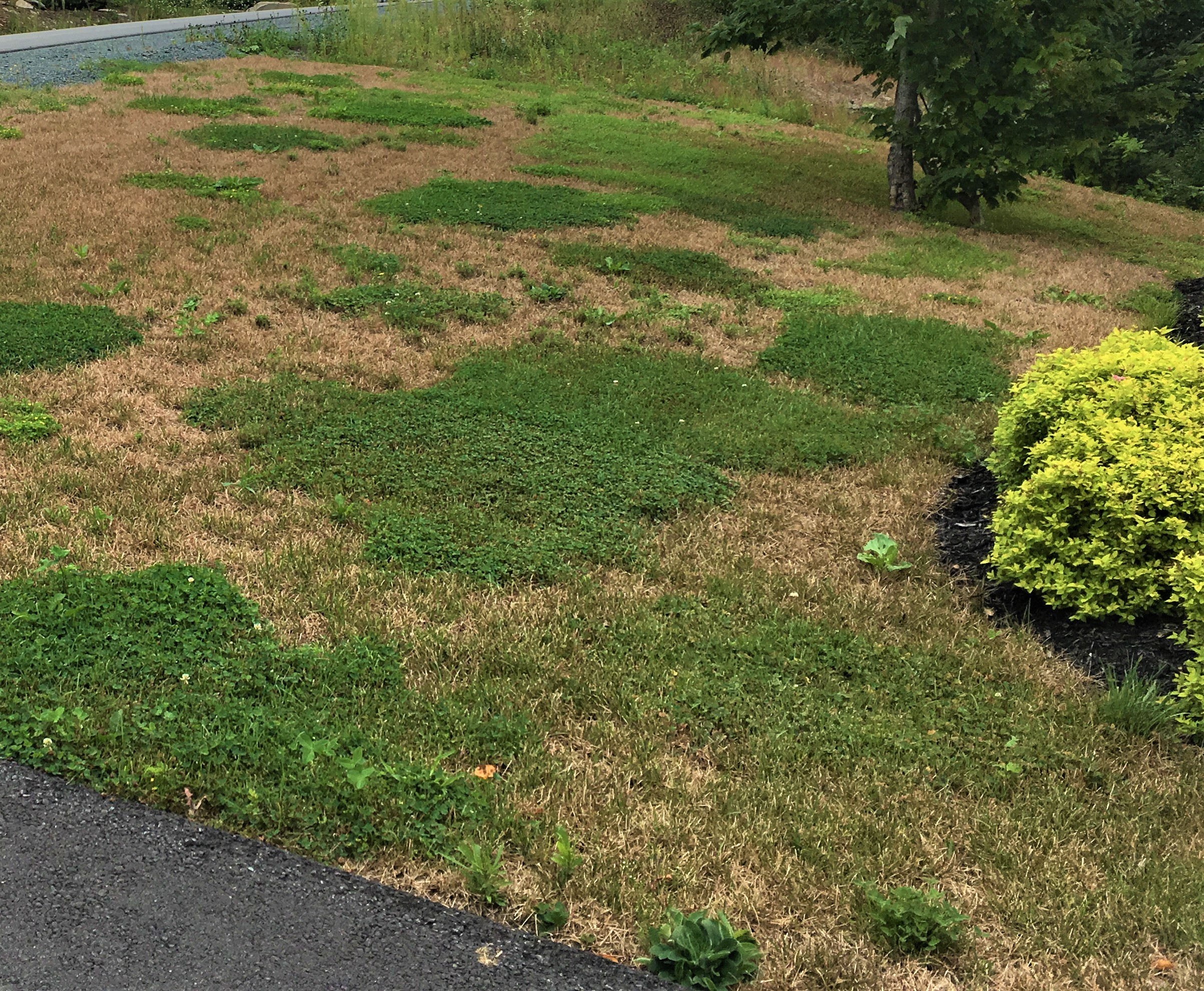 Summer drought and chinch bug have left this Kentucky blue grass lawn brown and unable to be restored. Any remaining green is…you guessed it…Dutch white clover. A mixed turf grass of micro-clover, fescue and perennial rye could have prevented the loss of the lawn.
