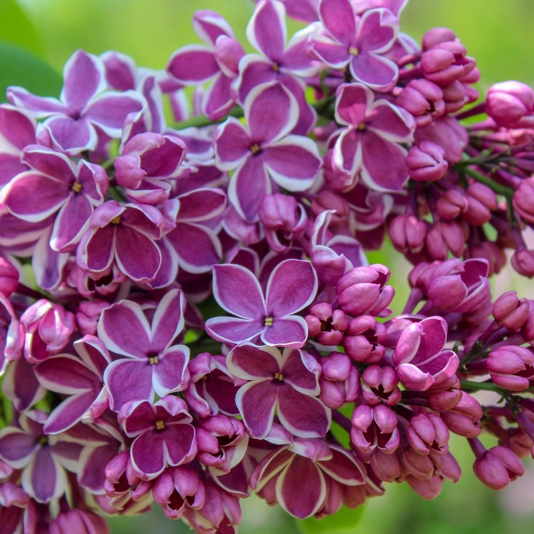 Lilac Sensation.jpg
