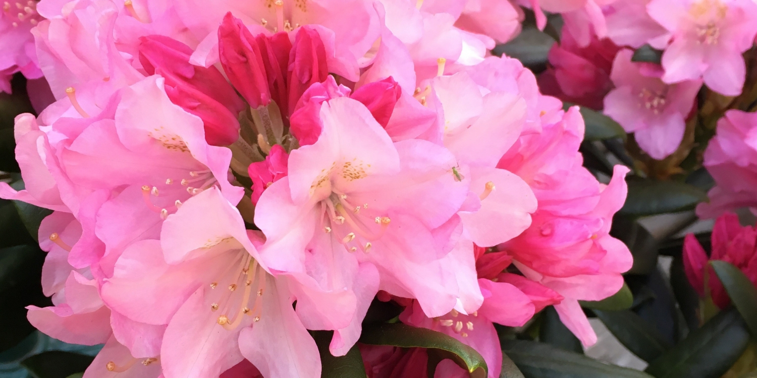 Copy of 2019 April Blog Rhodo bloom.jpg