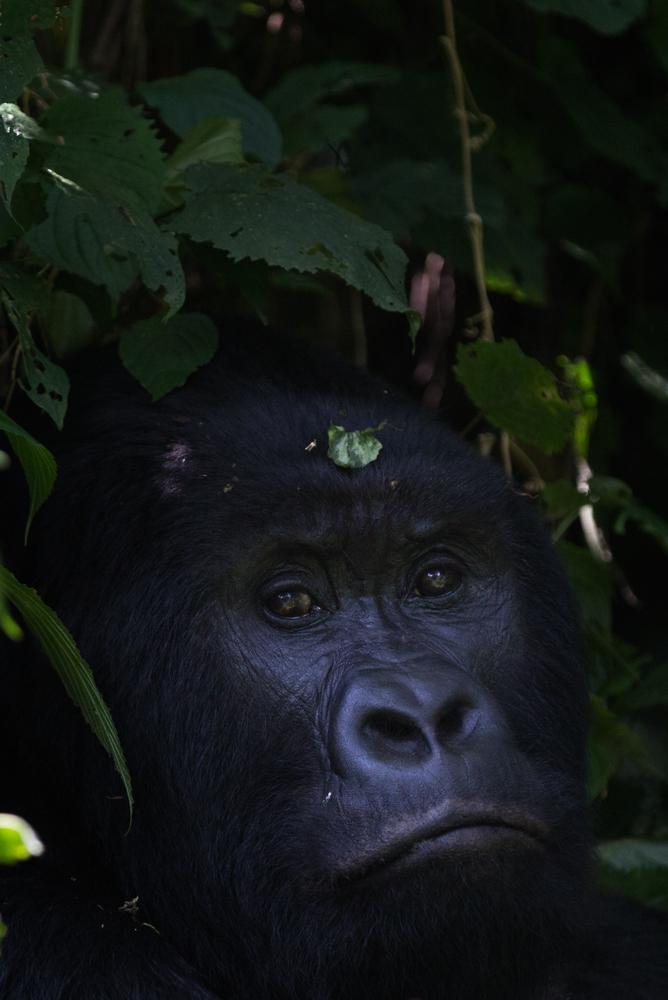 MLP Website Gorillas Size 1000-495.jpg