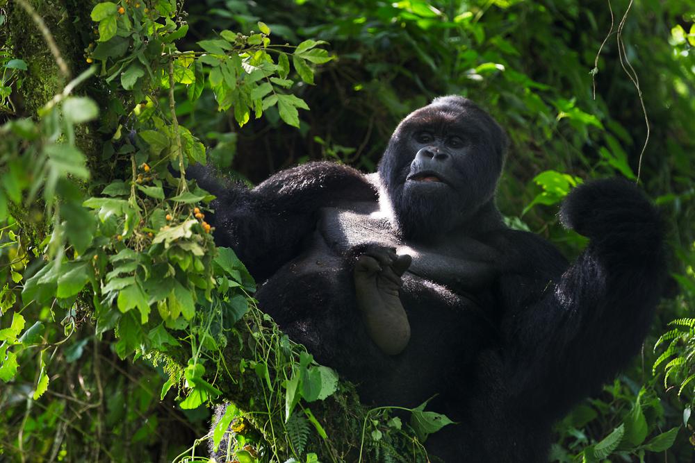 MLP Website Gorillas Size 1000-496.jpg