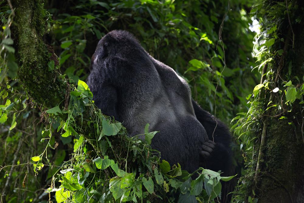 MLP Website Gorillas Size 1000-497.jpg