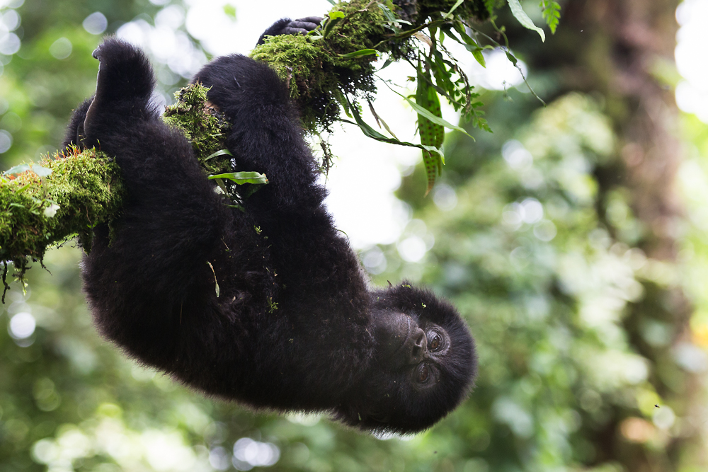 MLP Website Gorillas Size 1000-498.jpg