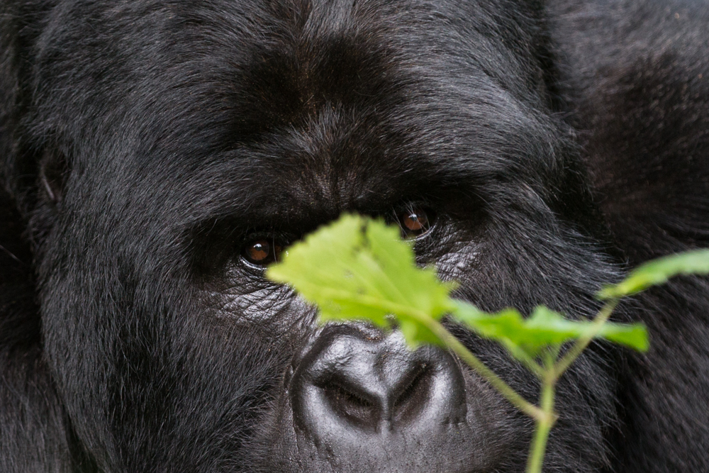 MLP Website Gorillas Size 1000-499.jpg