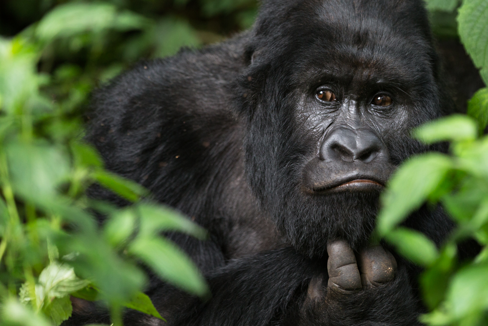MLP Website Gorillas Size 1000-500.jpg