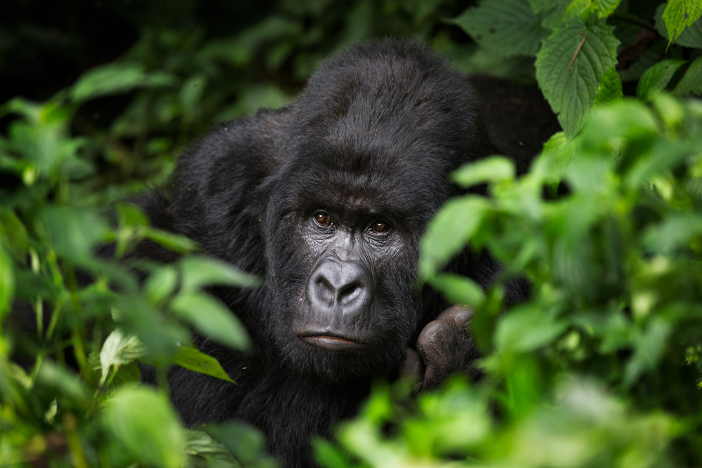 MLP Website Gorillas Size 1000-501.jpg