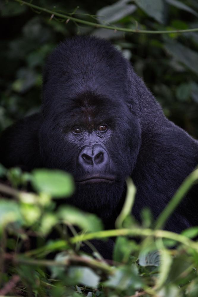 MLP Website Gorillas Size 1000-502.jpg