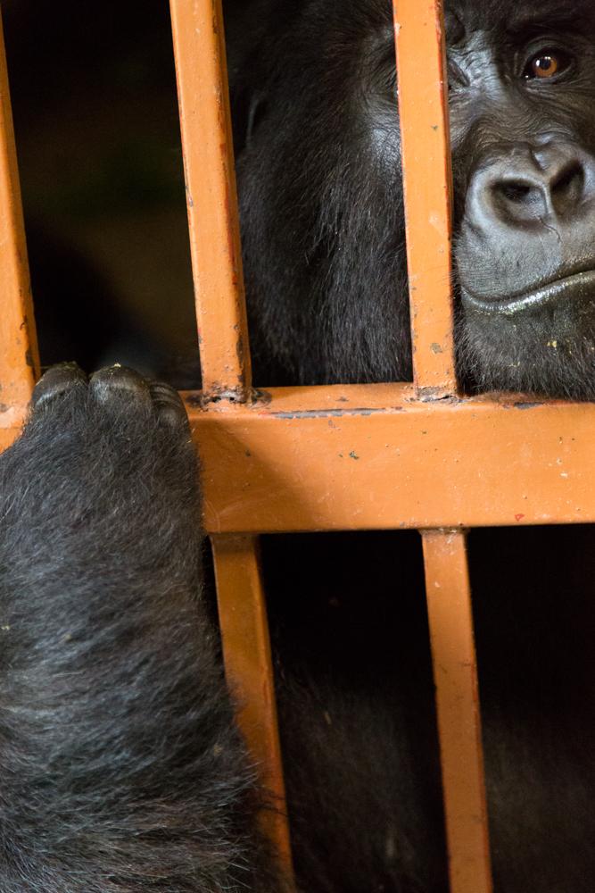 MLP Website Gorillas Size 1000-539.jpg