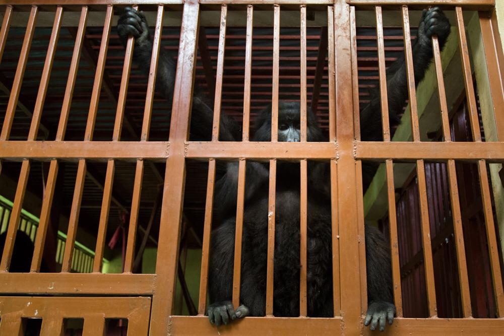 MLP Website Gorillas Size 1000-538.jpg