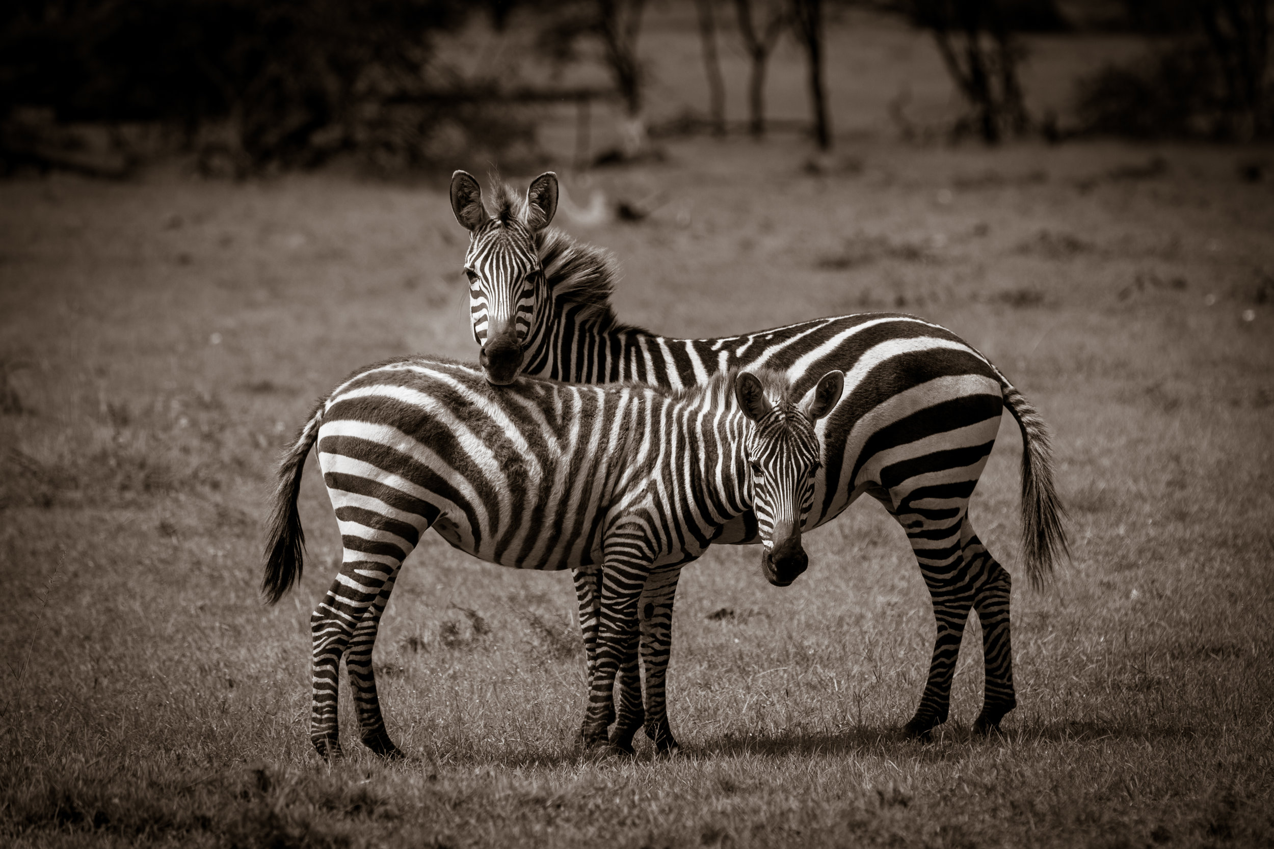 Zebras - I Got Your Back-1.jpg
