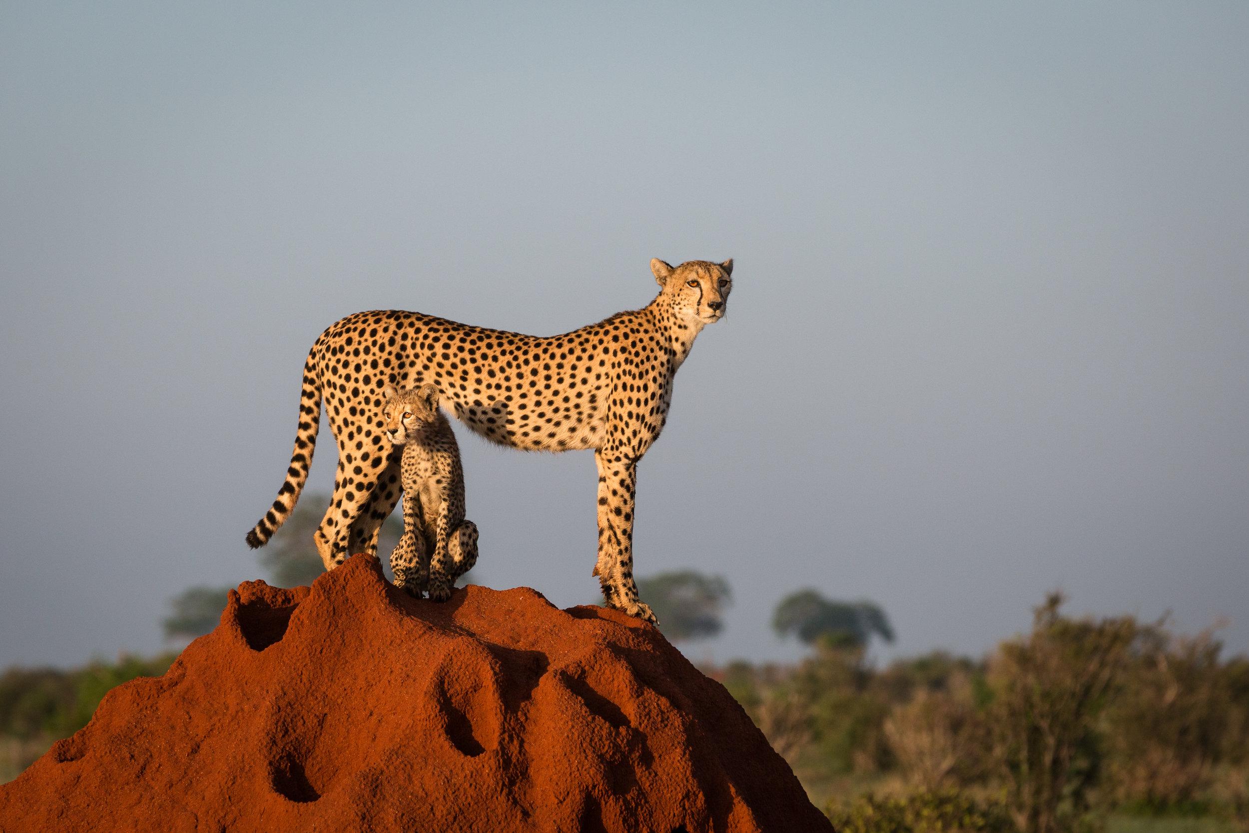 Cheetah and Cub Original-1.jpg