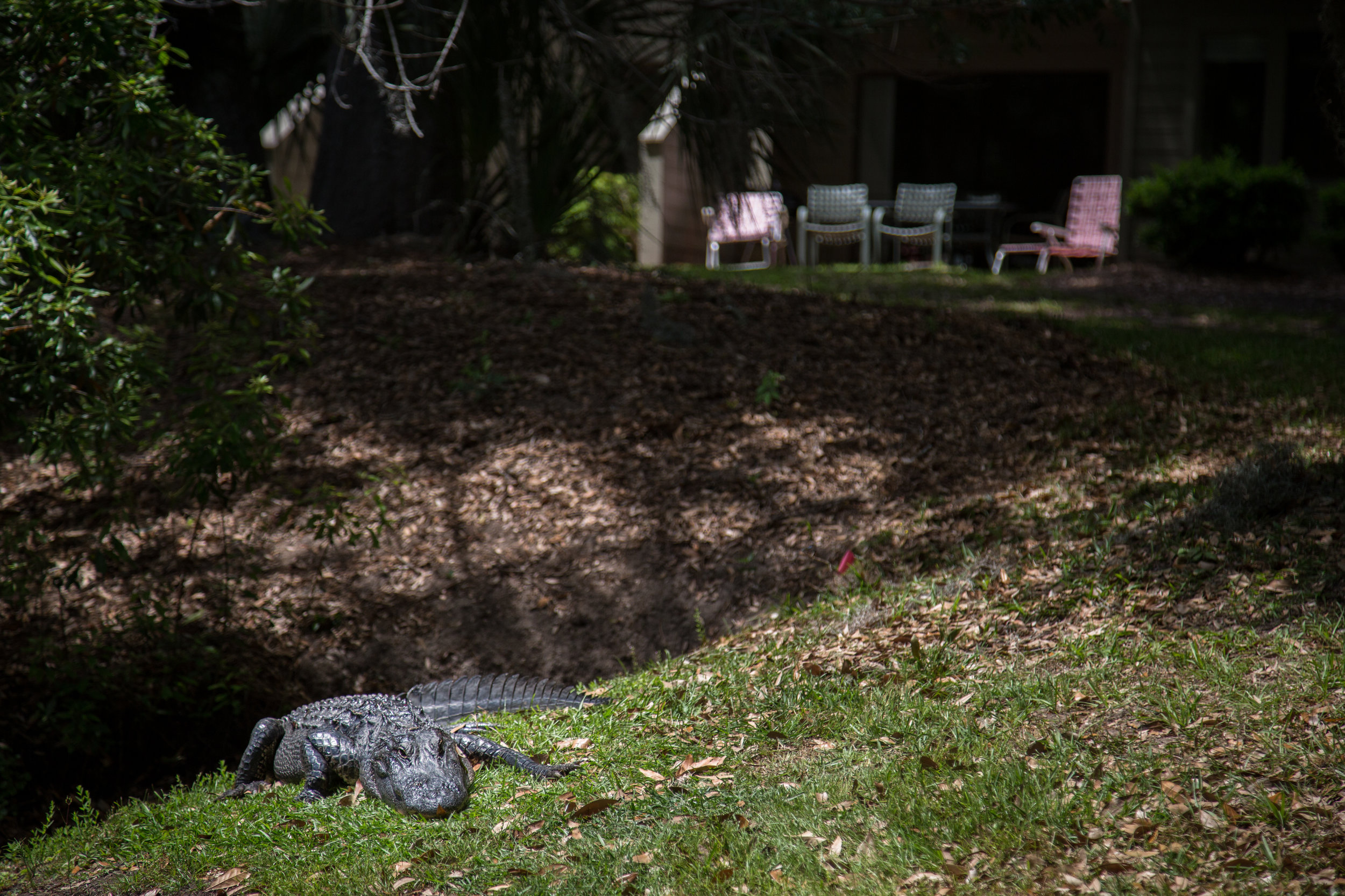 Hilton Head Alligator-16.jpg
