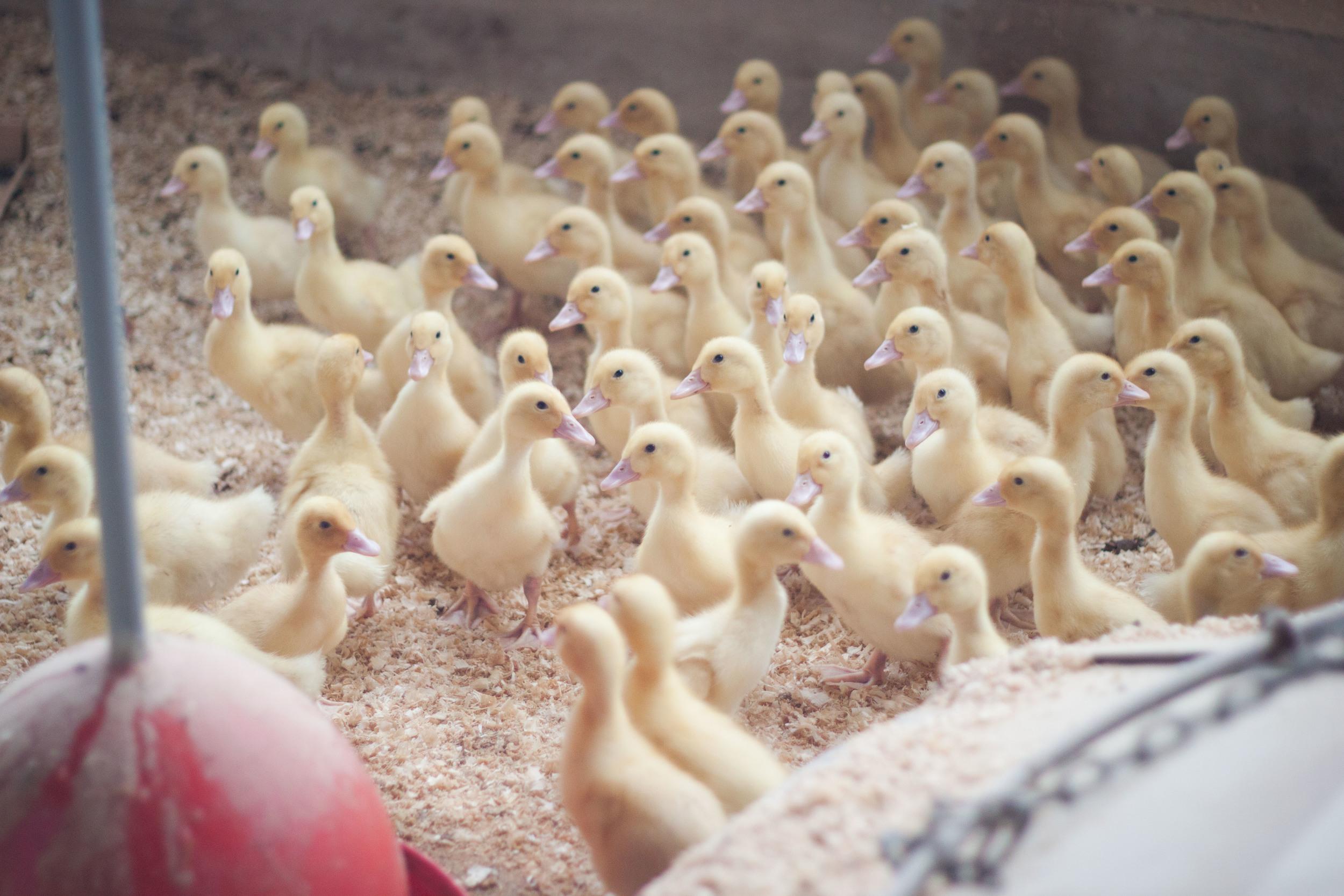 cracknells_ducklings