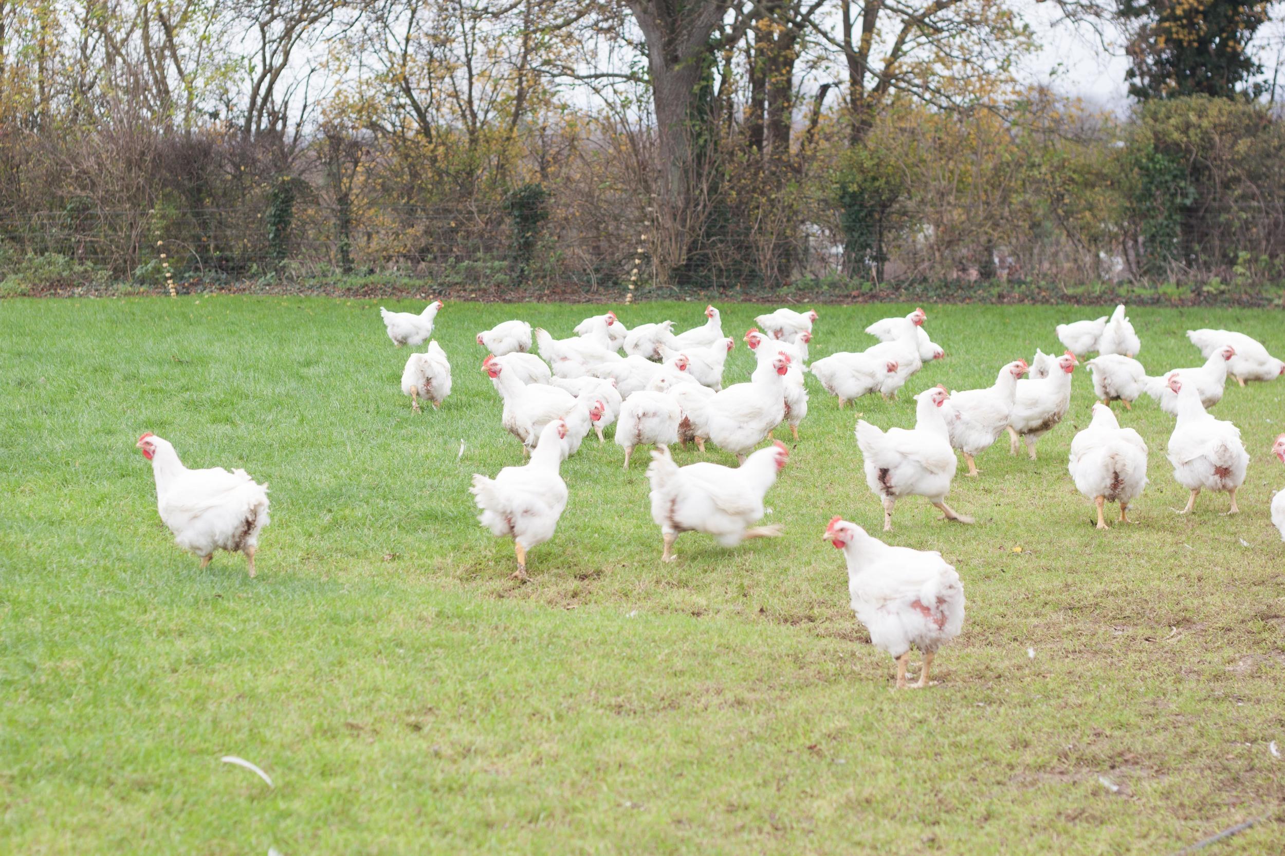 cracknells_chickens