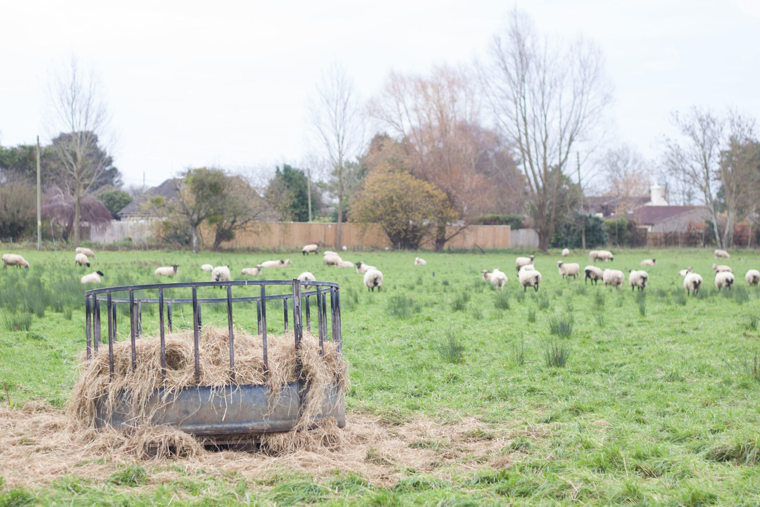 cracknells_sheep