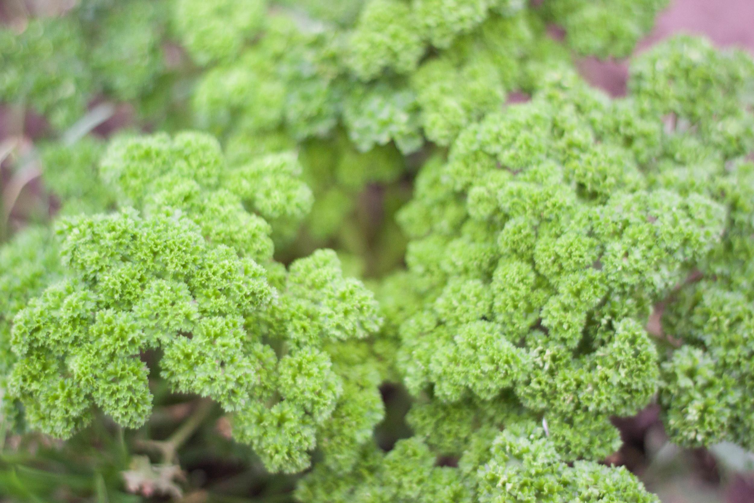 community_farm_parsley