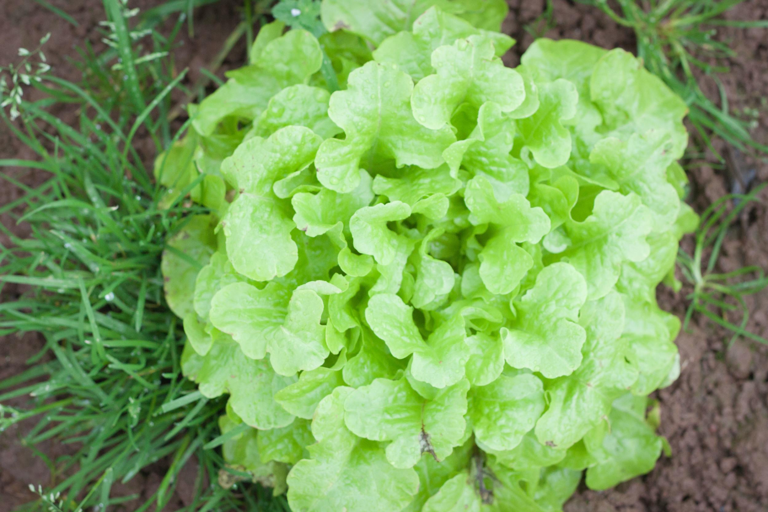 community_farm_lettuce