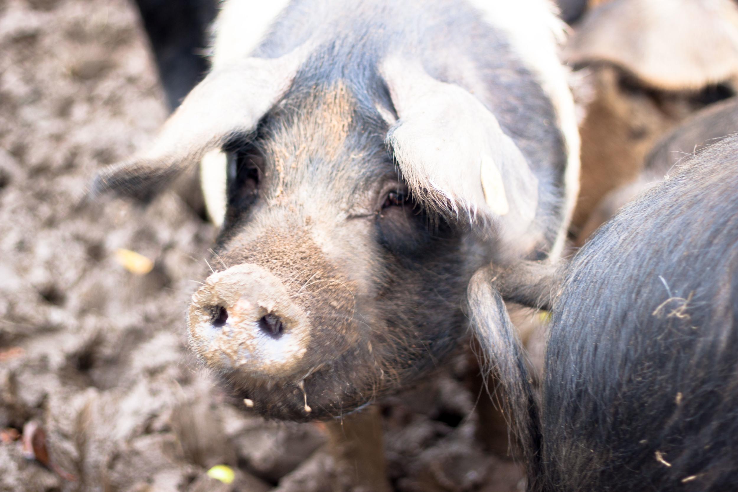 sandridge_farmhouse_pig_close