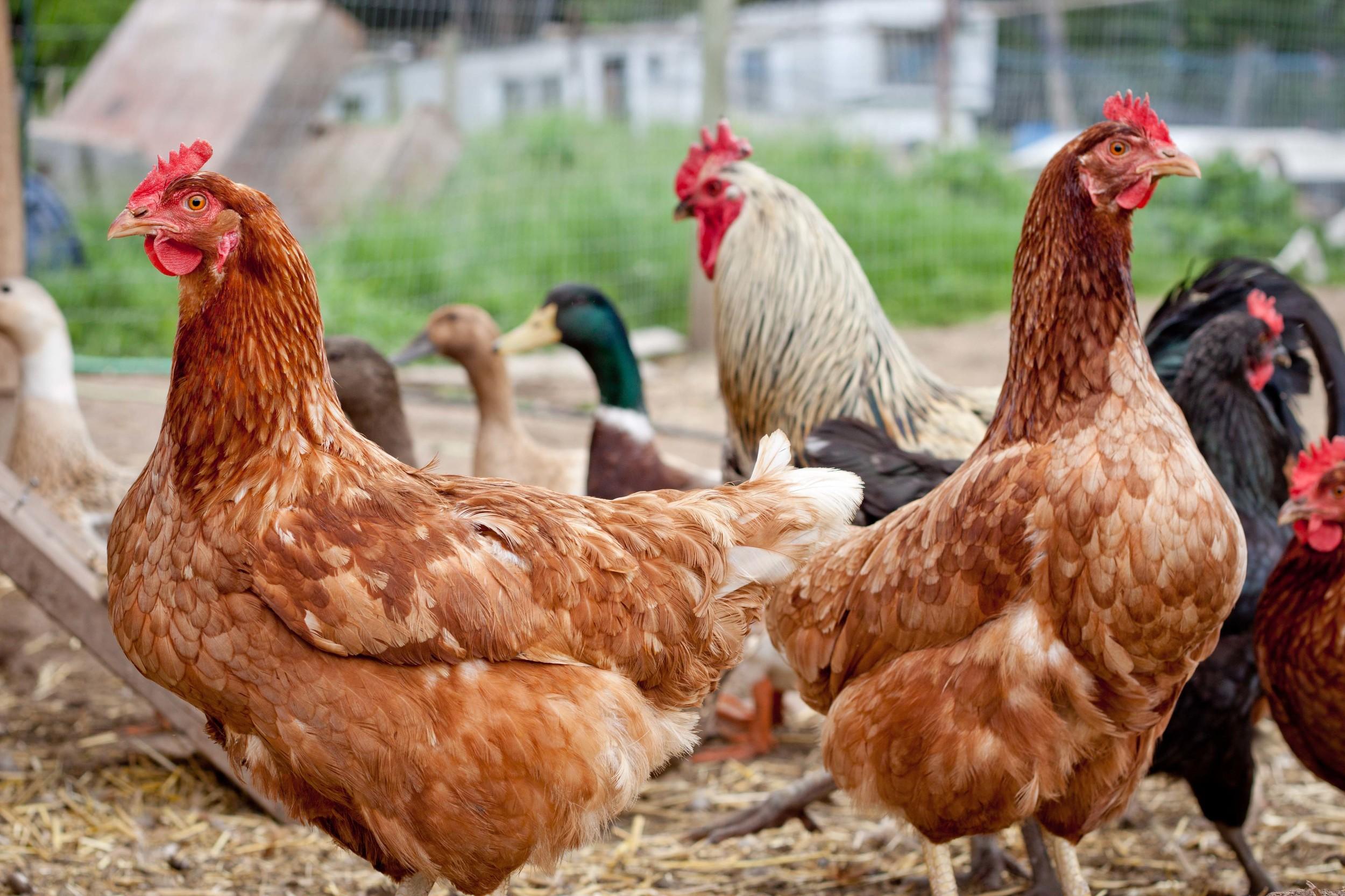 locavore_chickens