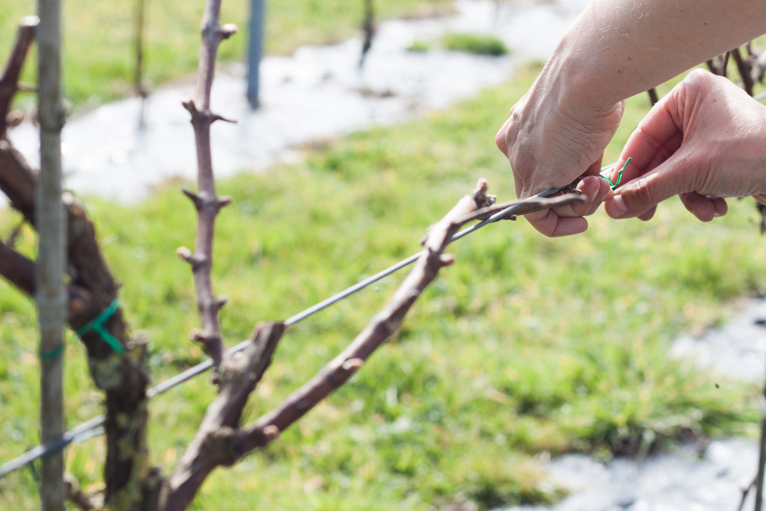 dunleavy_vineyards_wire