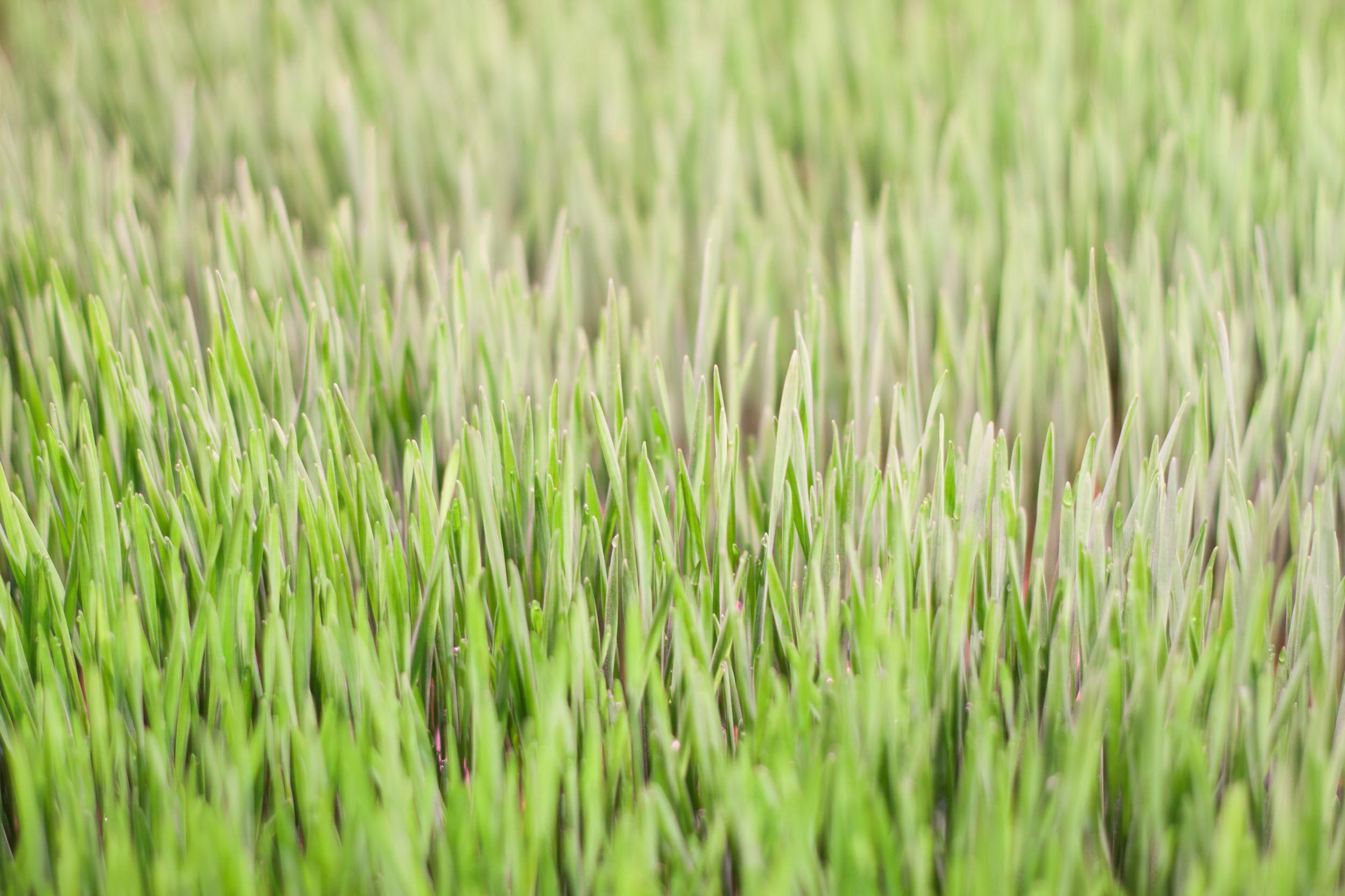 grow_bristol_wheatgrass