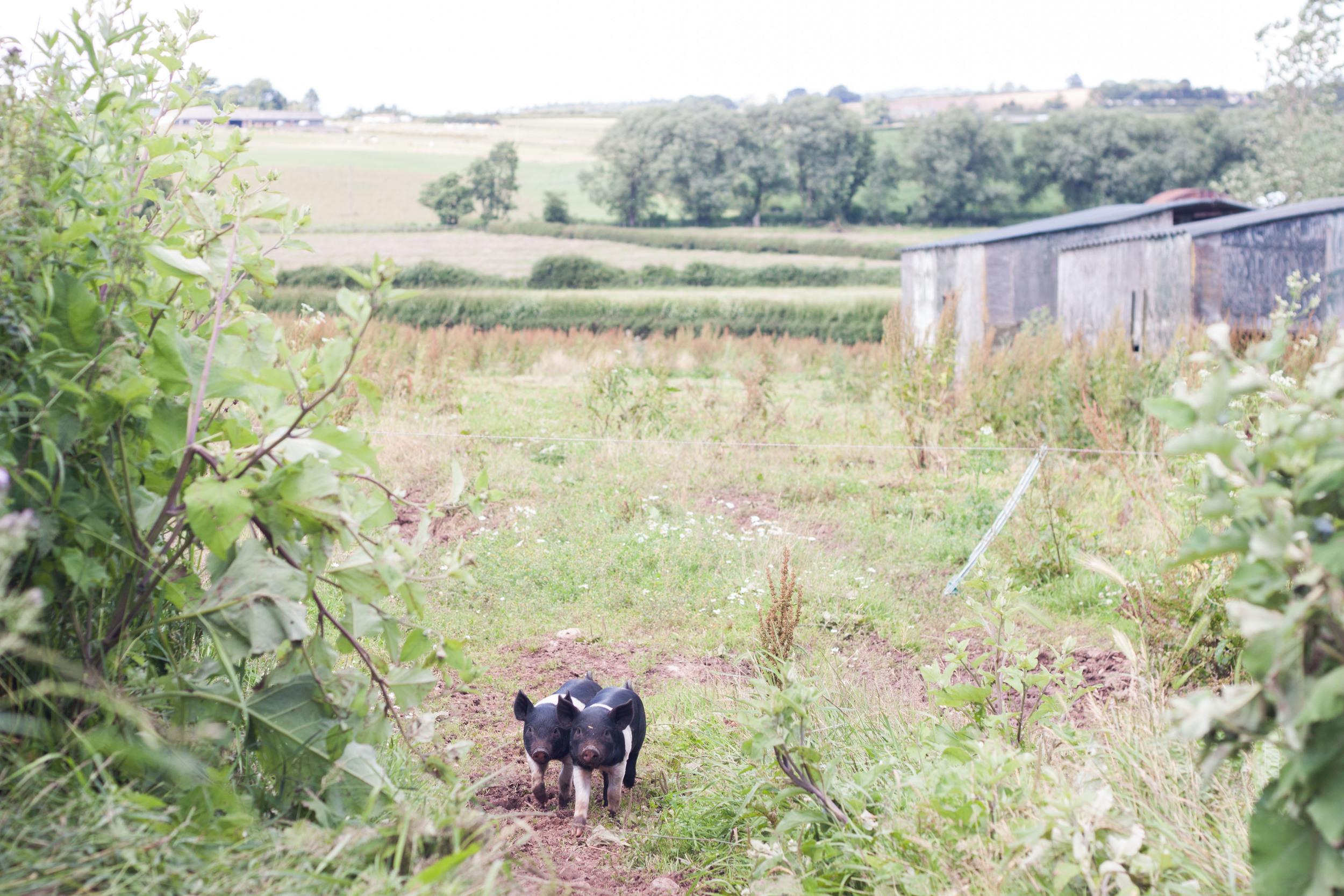 model_farm_piglets