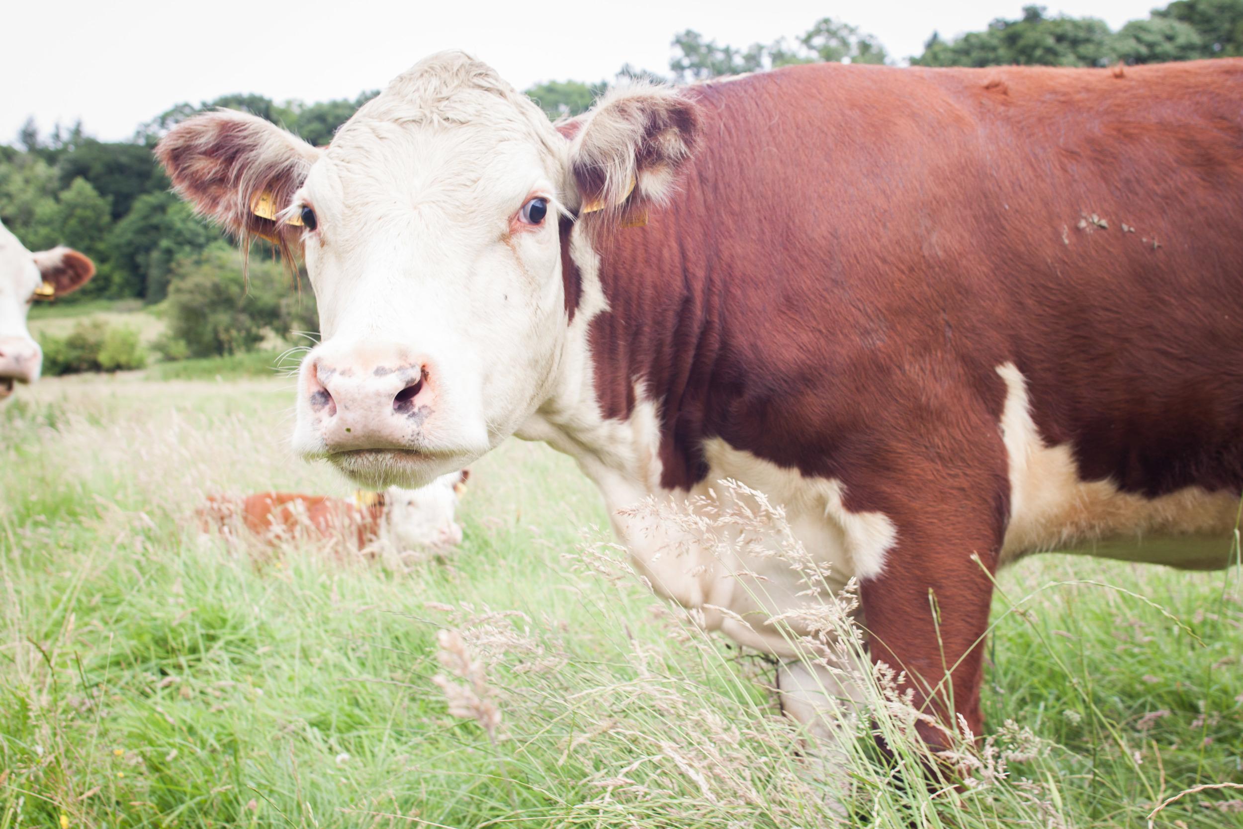 model_farm_cow_close