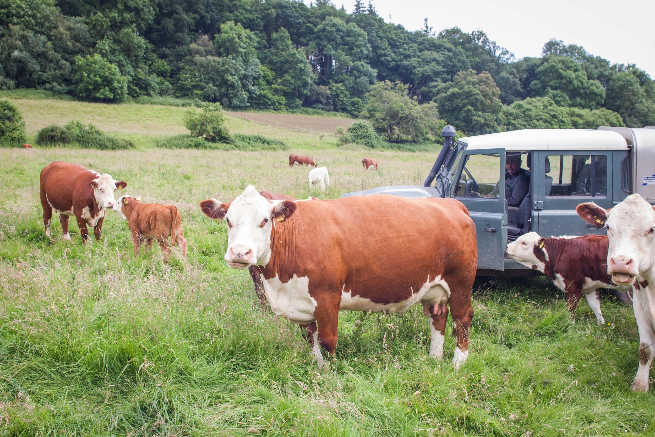 model_farm_cows_landrover