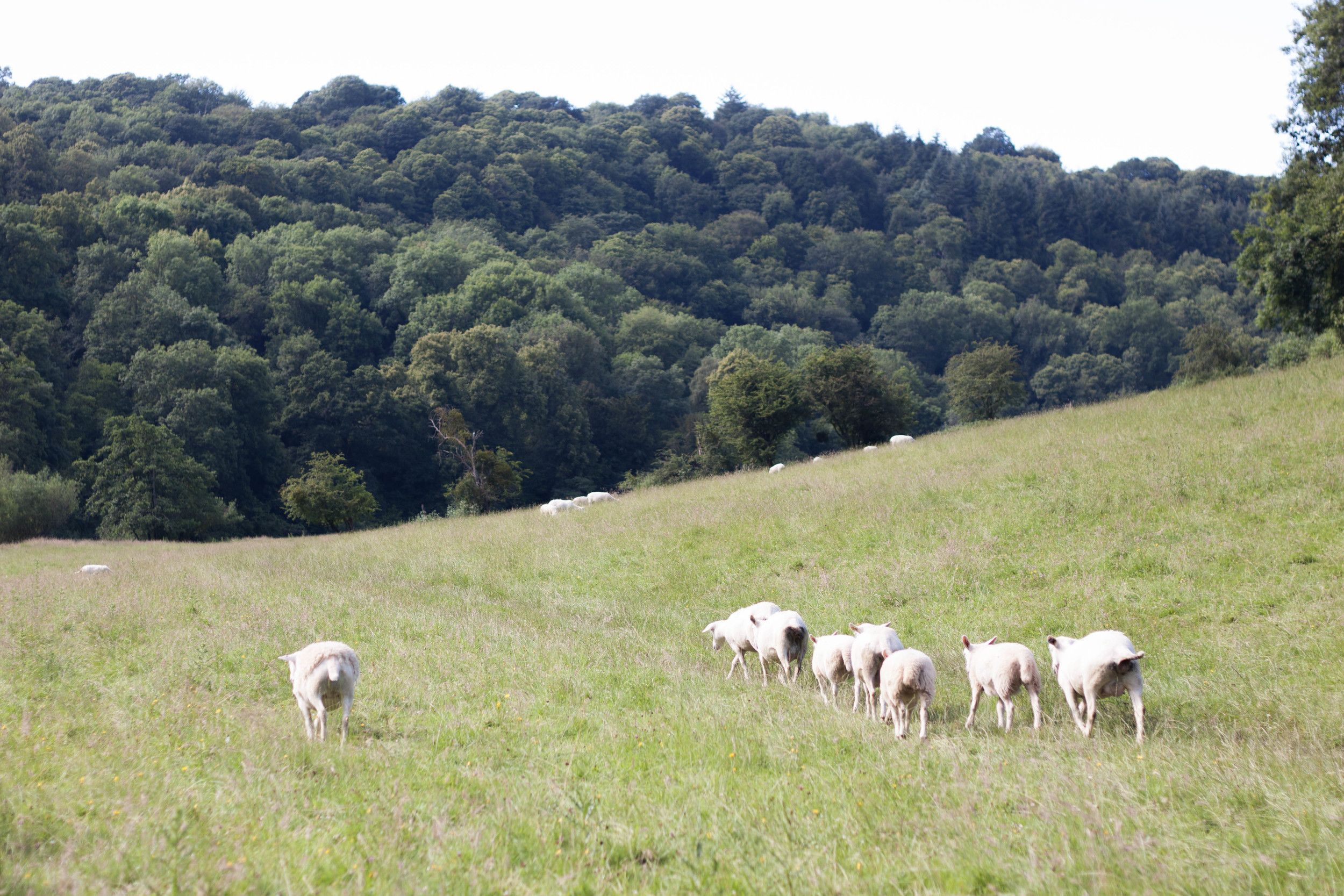 model_farm_sheep