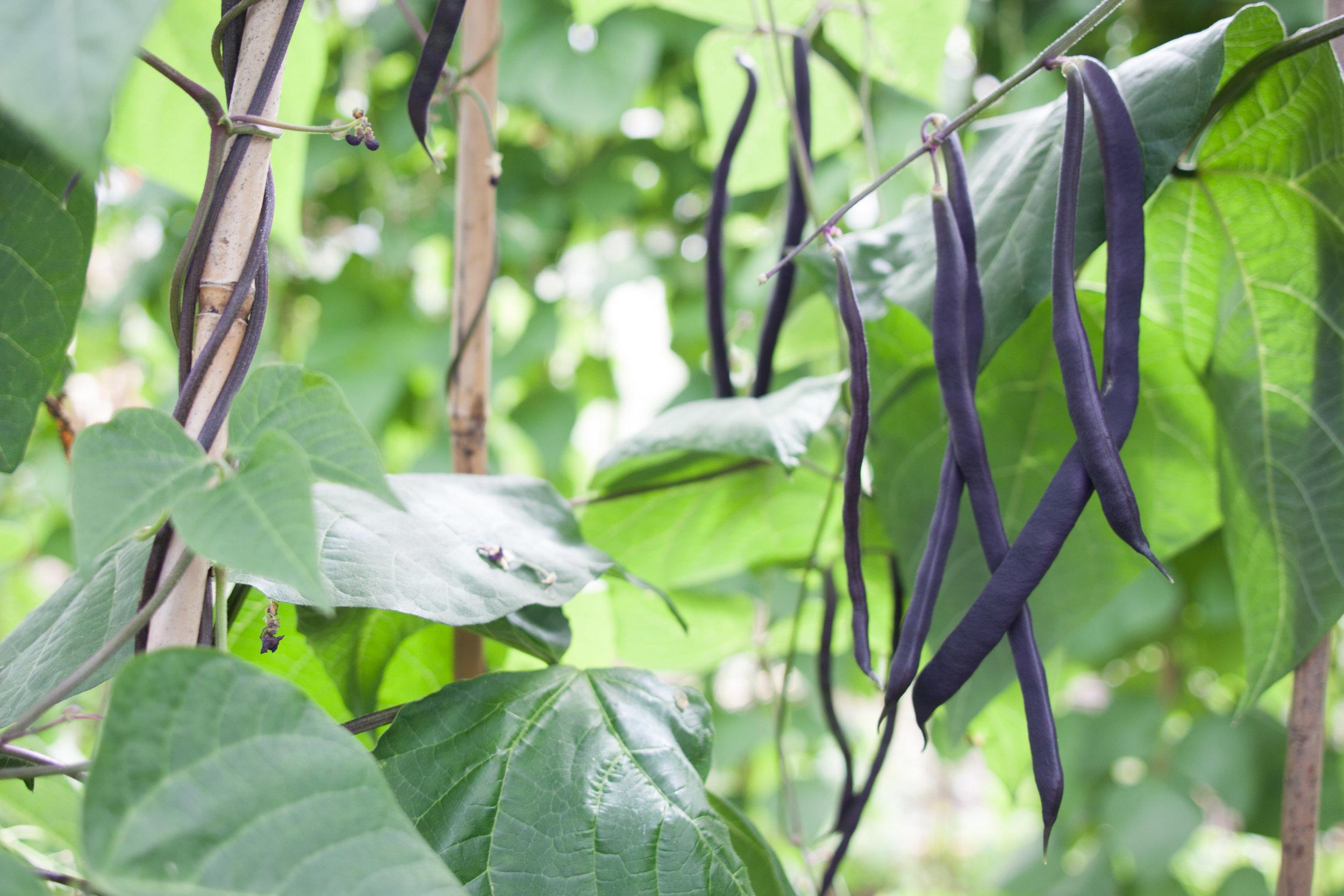 sims_hill_bean_purple