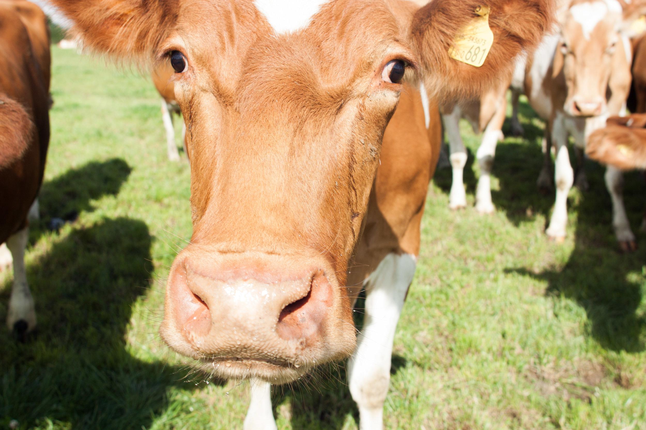hurdlebrook_cow