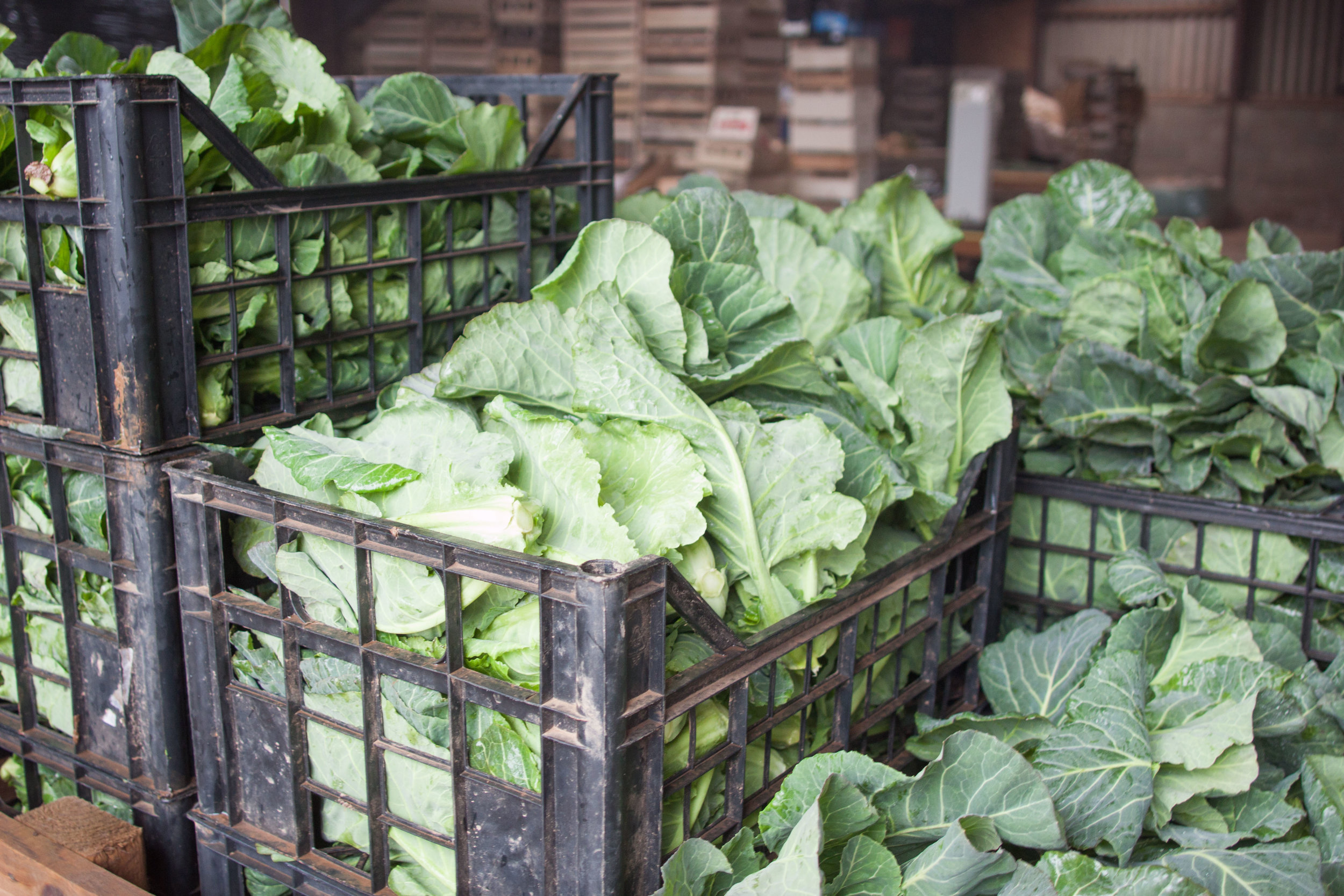 plowright_organic_cabbages