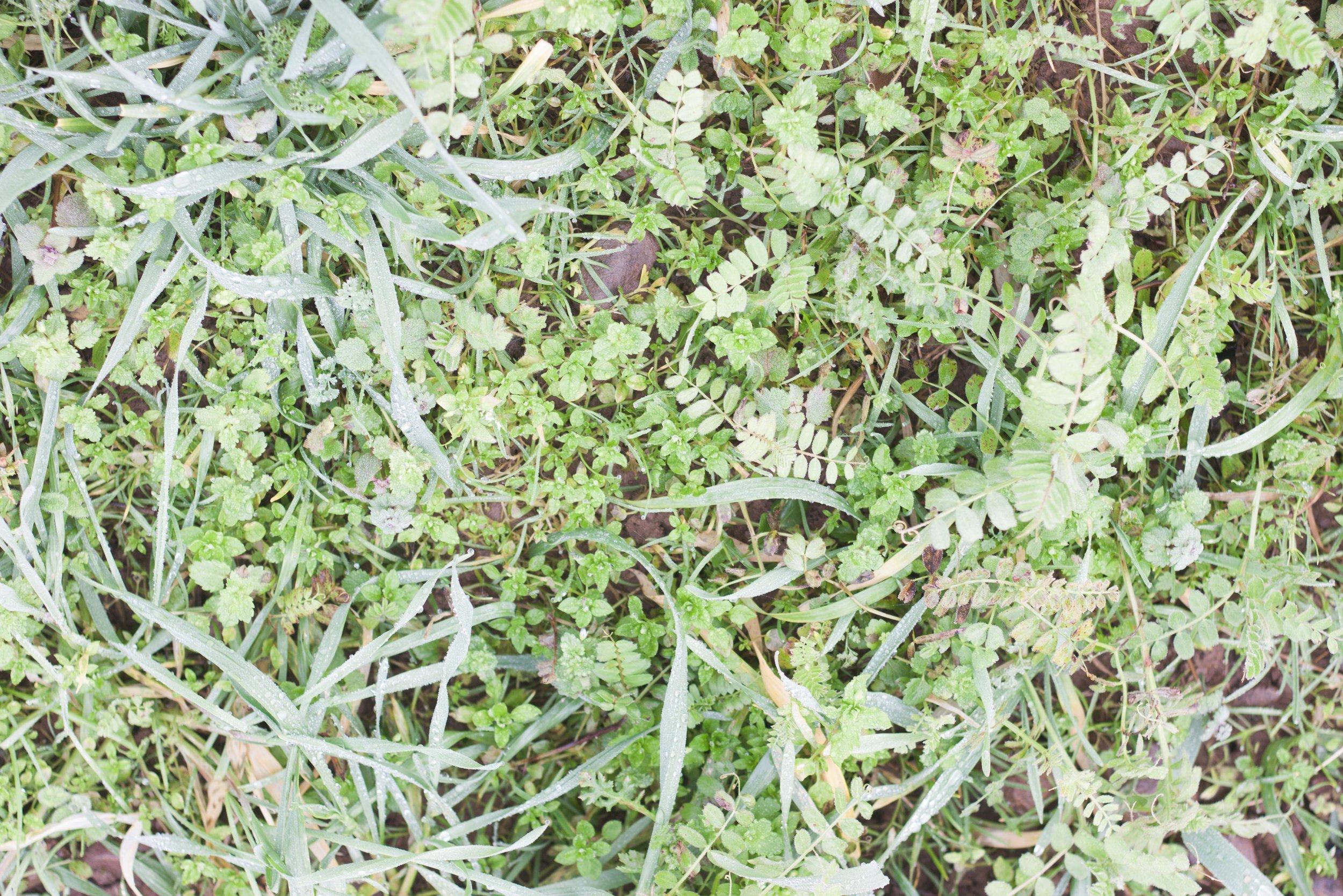 plowright_organic_cover_crop