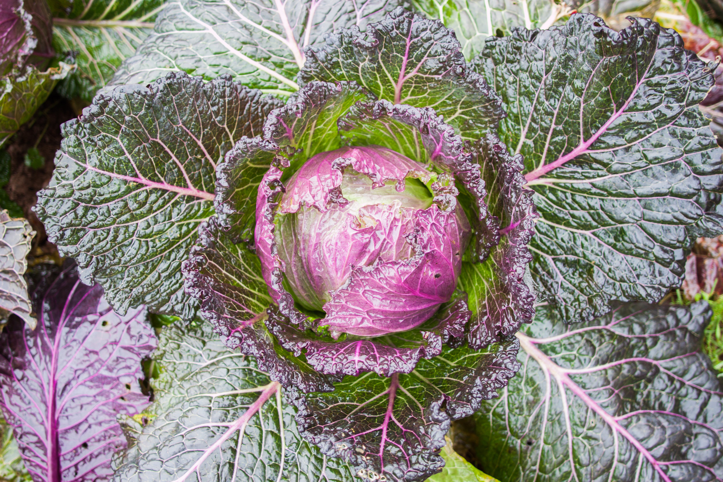 plowright_cabbage
