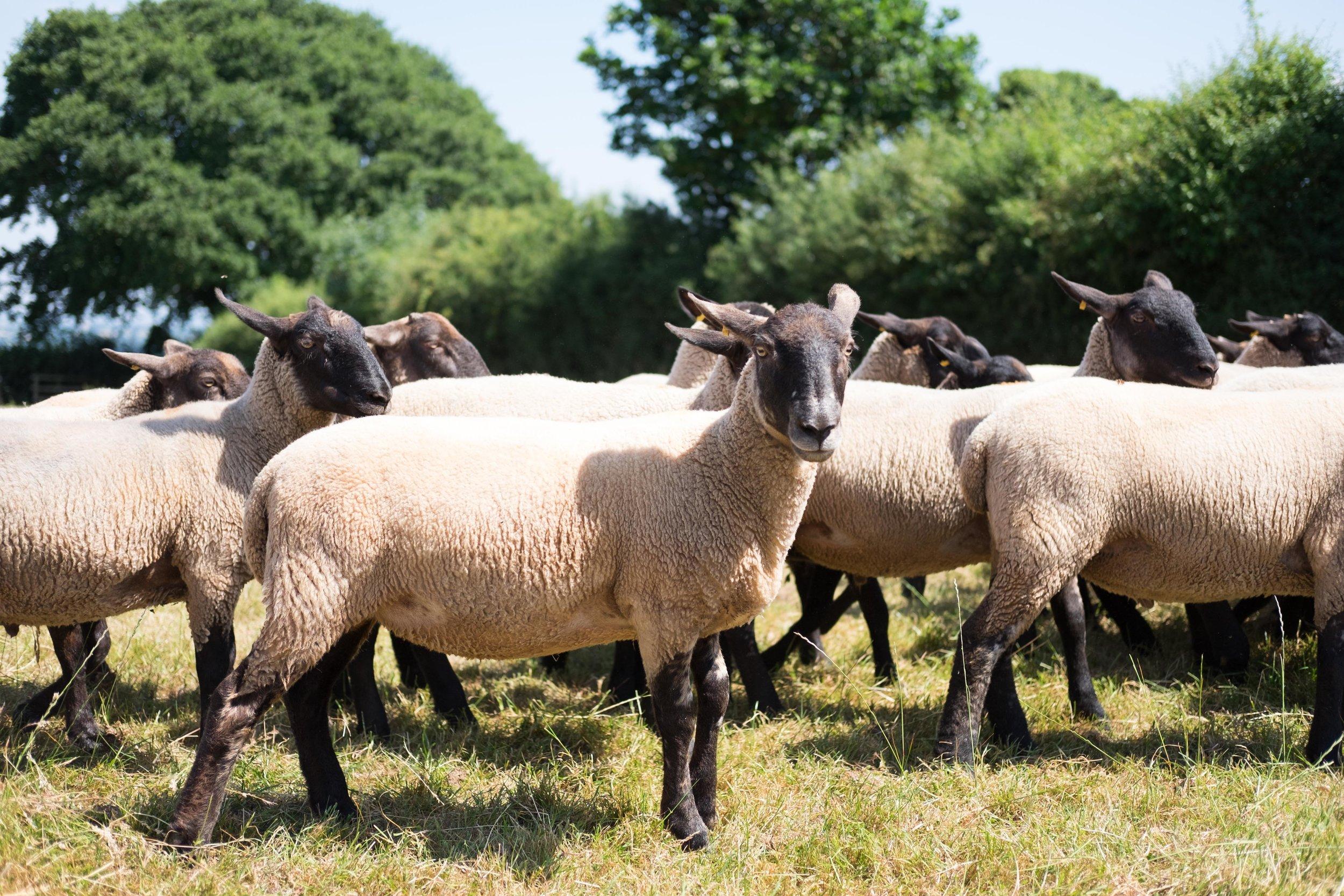 pipers_farm_sheep