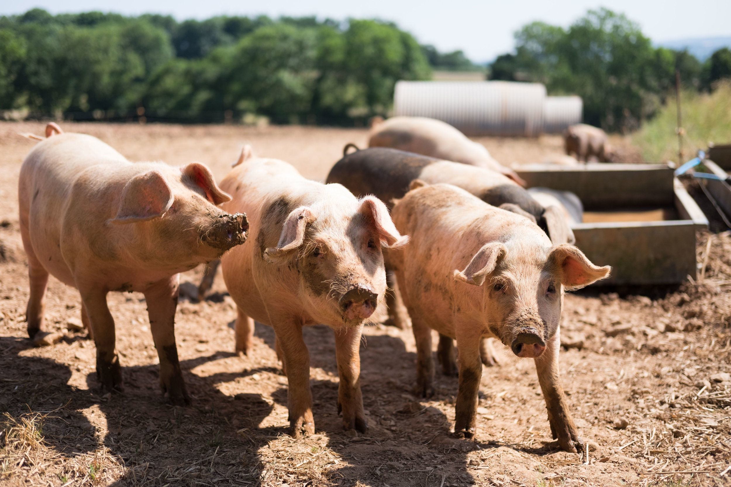 pipers_farm_piglets