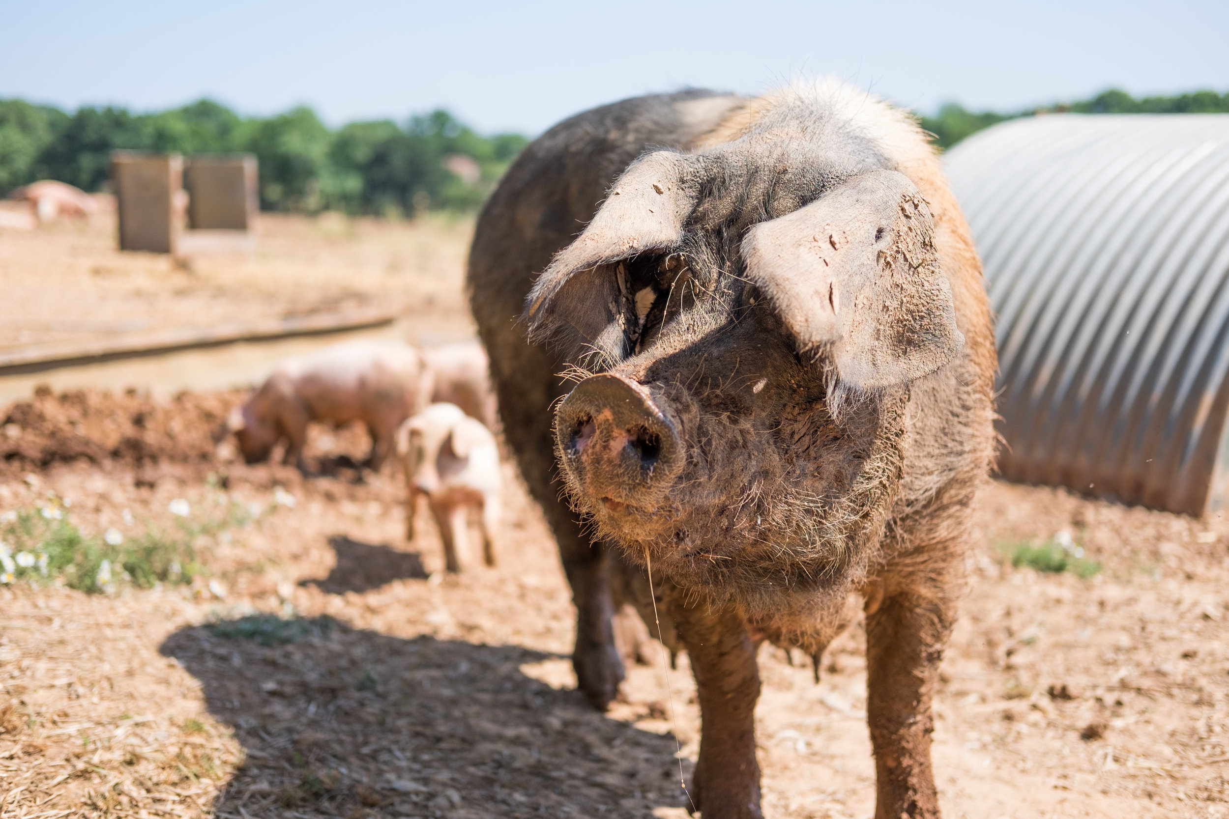 pipers_farm_sow