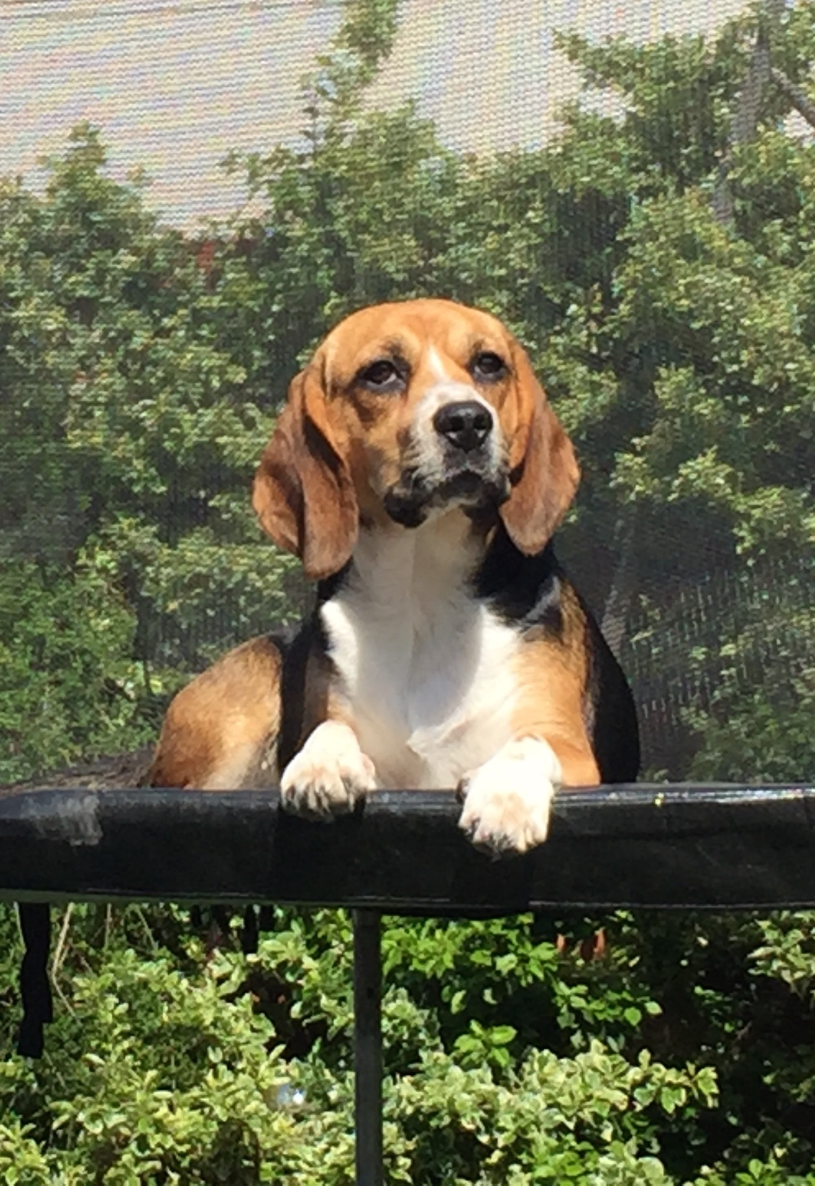 My gorgeous beagle,Poppy, is finally over her 'teenage' years, which means we've made it past her naughty phase (although she still has her moments) and the chewing and destroying is finally getting better - unless she finds one of Jacob's stray NERF bullet, then she can't seem to help herself.