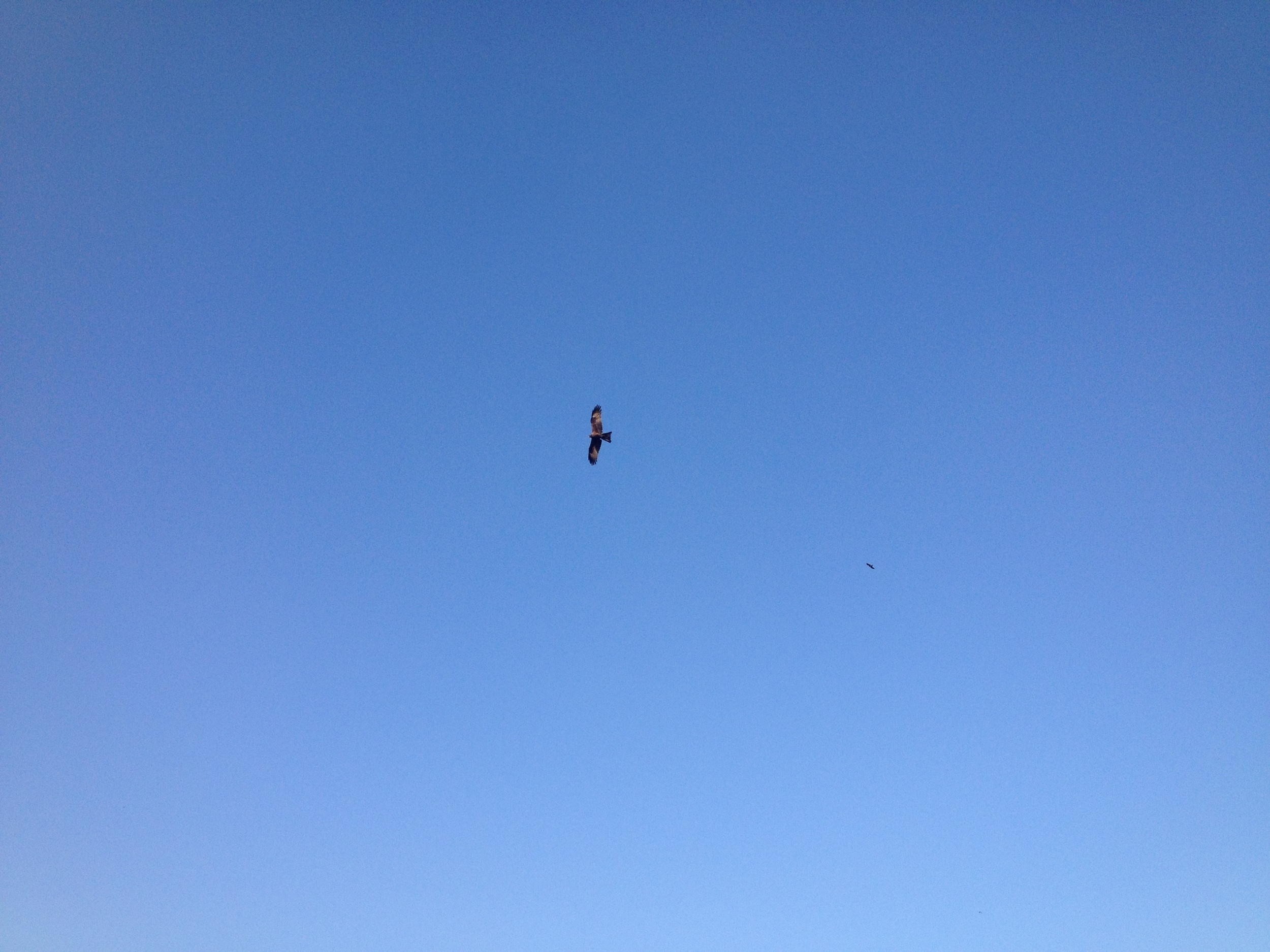 More black kites