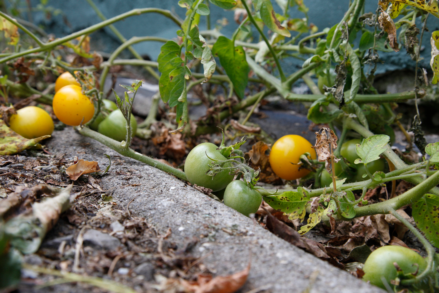 "Sweet cherry tomatoes are growing in the drainage ditch between the greenhouse and the parking lot at the Seedfolk City Farm location behind the Greenhouse Cafe, Rochester, N.Y., Aug., 28, 2015. ""Life finds a way."""