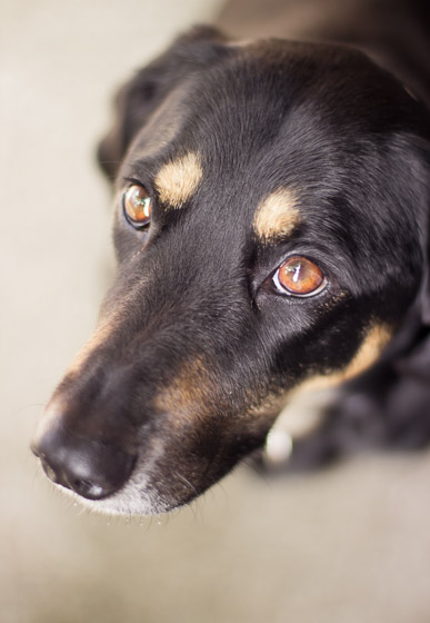 Close up of the face of a black dog with brown eyes and eyebrows.