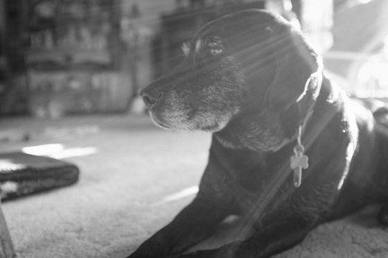 Black and white of a black lab lying down inside with backlit sunlight across the frame.