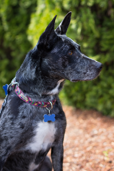 Grey and black dog with pointed ears looking off camera outside.