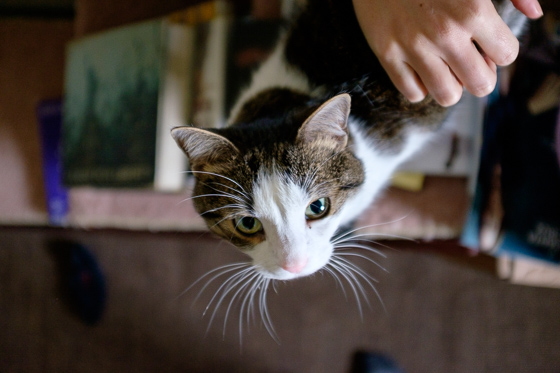 Overhead view of cat with pink nose and white and brown face with a person's hand in frame.