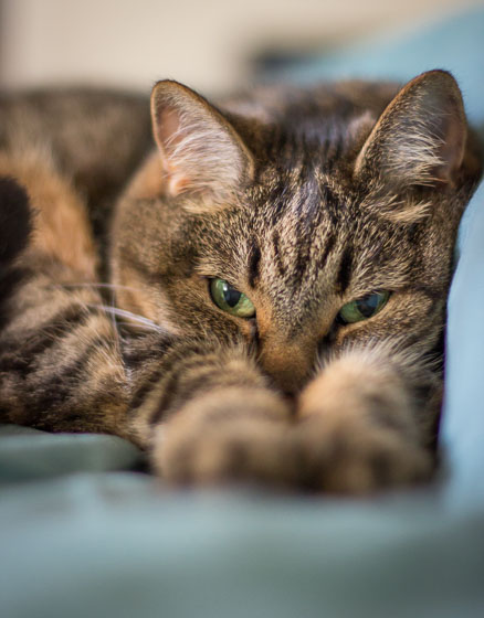 Close up of brown tabby cat with green eyes looking at the camera while resting with outstretched paws.