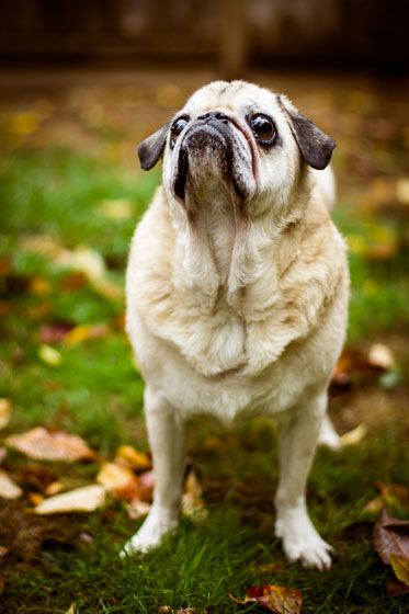 Yellow pug with droopy jowls outside in a yard with fall leaves.
